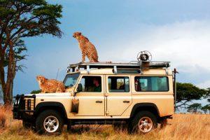 Cheetahs on a safari van in Africa