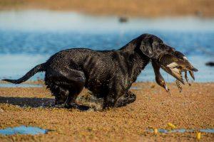 Pampa Lodge Argentina Labrador Retriver birddog duck waterfowl