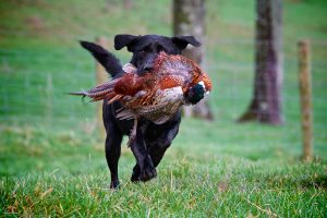Baronscourt Estate Ireland Europe pheasant hunting bird dog Labrador Retriever working dog