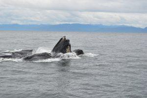 Golden Eagle cruise ship Alaska tour humpback whales breaching