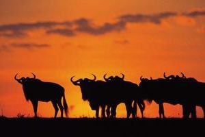 Mara Wildebeast Sunset1